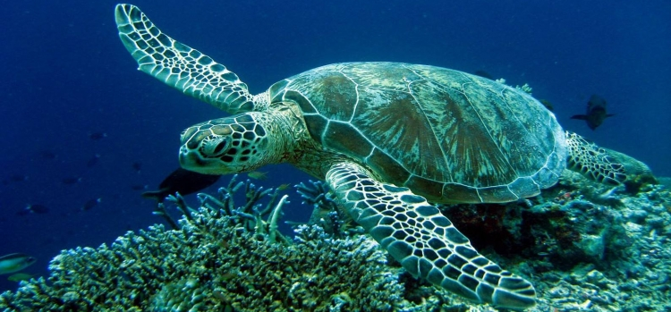 The sea turtle CARETTA - CARETTA
